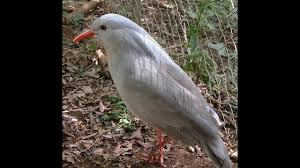 Bluish Grey Kagu Long Legged Bluish Grey Bird Youtube