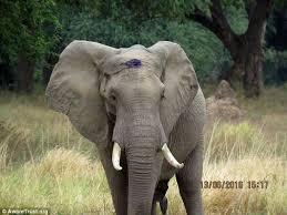 Elefante baleado por caçador caminha até veterinários em busca de ...