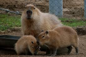 Capybaras at the San Diego Zoo Susan Shain