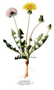 Liste de plantes pour les soins Images?q=tbn:ANd9GcRjaitSxzRpY5TudO9p_oDFvWu18URbGdZJR2Xq5Ls316d1UM2tKzt2lGpN