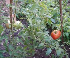 grow tomatoes from seed 9 steps with pictures
