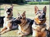 Cães da polícia inglesa usarão armadura contra facas