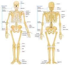 human anatomy word search image collections learn human anatomy