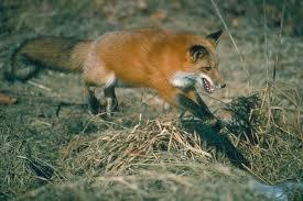 Капкан на лисицу