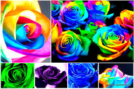 learn simple colored rainbow roses