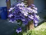 Interesting Uses Of Clematis | Steve Snedeker's Landscaping and ...