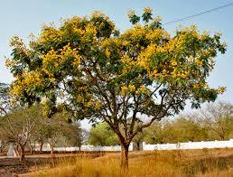 Tree With Bright Yellow Flowers - vidya online