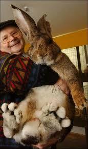 super conejos gigantes mas fotos