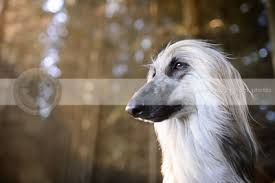 afghan hound long haired dogs stock photos of afghan hounds scruffy dog stock photos