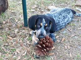 bluetick coonhound puppies for sale in ohio bluetick coonhound puppy doggies pinterest bluetick