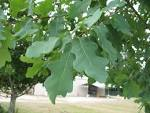 Image result for Quercus laceyi