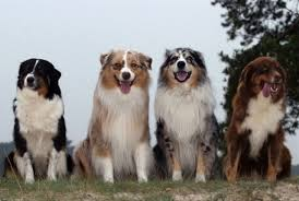 australian shepherd qualities breeds our dogs and us page 5