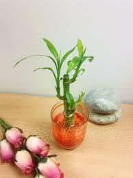 couleur feng shui 1 lucky bamboo ruban plant 3 tiges en couleur vase maison bureau