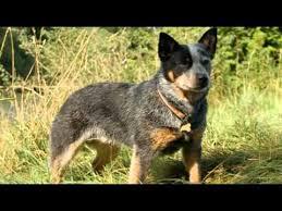 australian shepherd queensland heeler top 10 most amazing facts about australian blue heeler