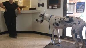 halloween city adrian michigan police suspect dumps great dane in midwest city field news9 com