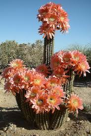 80 best cactus plants for home and garden images on pinterest