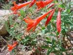 <b>Epilobium</b> ciliatum, photo Russ