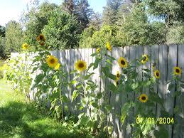 sunflower pics flowers growing concrete backyard garden