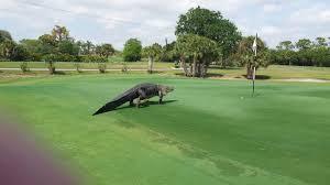 Backyard Golf Hole by Massive Alligator Invade Golf Course In Florida I Love Golf Daily