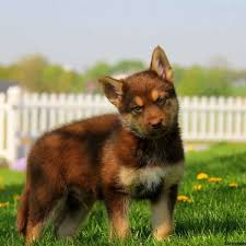 american pitbull terrier for sale in dallas texas german shepherd mix puppies for sale in de md ny nj philly dc and