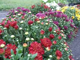Fall Landscaping Ideas by When To Plant Garden Mums Hgtv