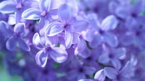 வால்பேப்பர்கள் ( flowers wallpapers ) - Page 2 Images?q=tbn:ANd9GcRqgiY1pW2aM_8eZtshP7BtuKUPgc0i1K9qw5g1HxvpF0g6FRkh
