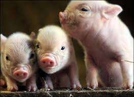 image of piglets, borrowed from t2.gstatic.com