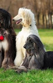 afghan hound long haired dogs afghan hound dog breed information pictures characteristics