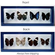 real blue butterflies mounted in blue frame for home decor u2026 flickr