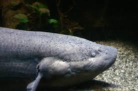 Protopterus