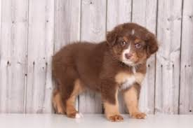 australian shepherd queen creek az australian shepherd dogs for adoption in paxton illinois