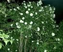 PANTIP.COM : J8461055 รบกวนถามเรื่องบุหงาส่าหรีค่ะ [ต้นไม้]