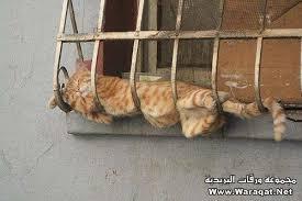 حبايبي القطط Images?q=tbn:ANd9GcRtbolgSKOdp_5EN4tfWANKQeYPq_DwM6ry7OAg5Sm0KLb2GJgt2A