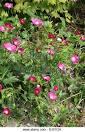 Image result for Callirhoe bushii