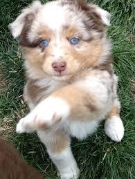 6 month old mini australian shepherd best 25 aussie dogs ideas on pinterest mini aussie mini aussie