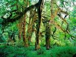 Wallpapers Hoh Rain Forest