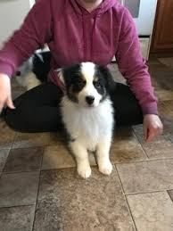 australian shepherd queen creek az australian shepherd dogs for adoption in jefferson city tennessee