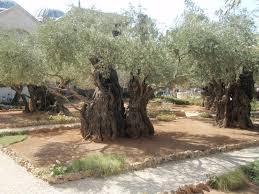 Getsemaní. Monte de los Olivos