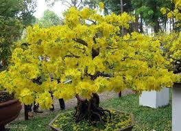 Tree With Bright Yellow Flowers - 46 best bonsai images on pinterest bonsai trees bonsai plants