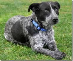 australian shepherd queensland heeler puppy adoption queensland heeler mix