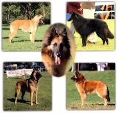 belgian sheepdog national specialty 2018 belgian shepherd dog club of queensland inc home
