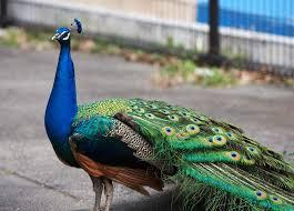 اجمل الطيور الطاووس images?q=tbn:ANd9GcR