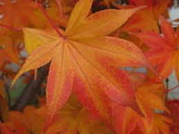 Maple Tree Symbolism by 11 Canada On Emaze