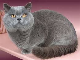 Cat Breeds - British Shorthair