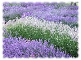 White and Purple Lavender growing