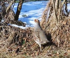 Rebhuhn im Garten - Bild \u0026amp; Foto von Klaus Lux aus Hühnervögel ... - Rebhuhn-im-Garten-a23952407