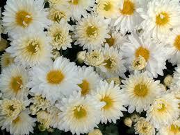 Les chrysanthèmes blancs - 白菊花