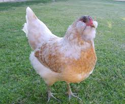 backyard chickens for sale the 8 best egg laying breeds of backyard chickens off the grid news
