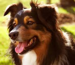 australian shepherd diseases australian shepherd dog breed