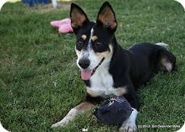 australian shepherd queensland heeler siri adopted dog patterson ca australian cattle dog german
